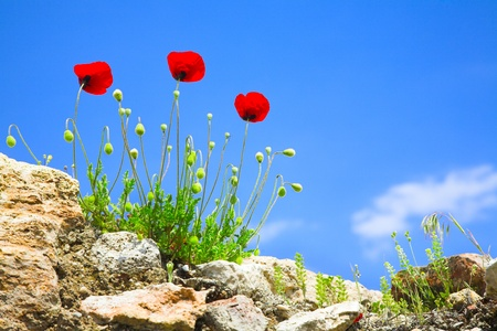 red poppy flowers on blue sky background photo