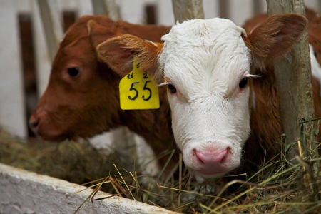 agrar: two little bull calfs in the cowshed Stock Photo