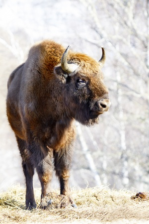 Big wild bison in the winter forest photo