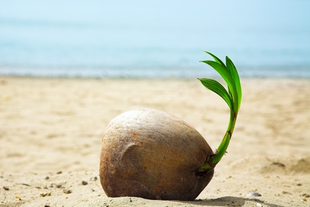 coconut sprout on the tropical sea beach
