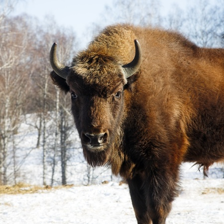 Big wild bisons in the winter forest photo