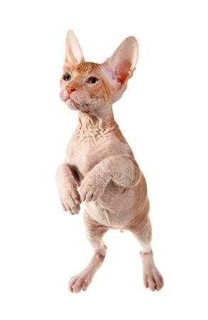 cute hairless oriental kitten isolated on white  photo