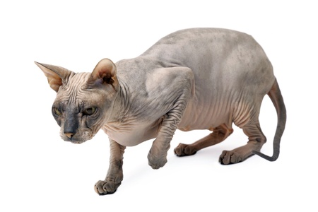 cute hairless oriental cat isolated on white Stock Photo - 10043129