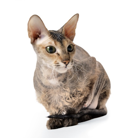 nobleness: cute hairless oriental cat isolated on white