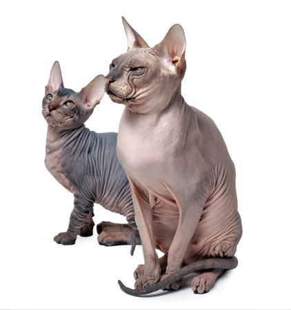 couple of hairless cat isolated on white photo