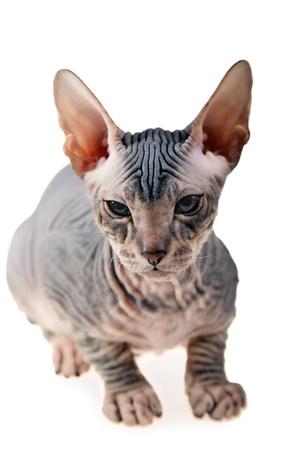 gray hairless kitten isolated on white background photo