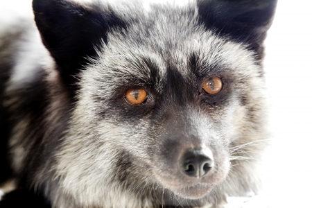 portait of silver fox on white background