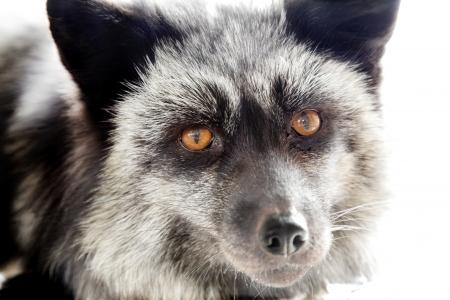 silver fox: portait of silver fox on white background