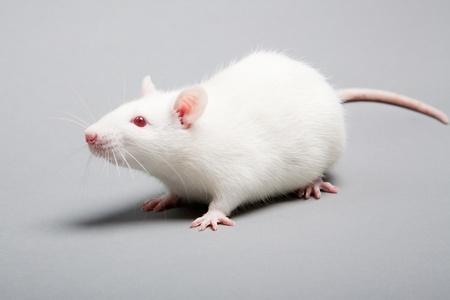 white laboratory rat isolated on grey background photo