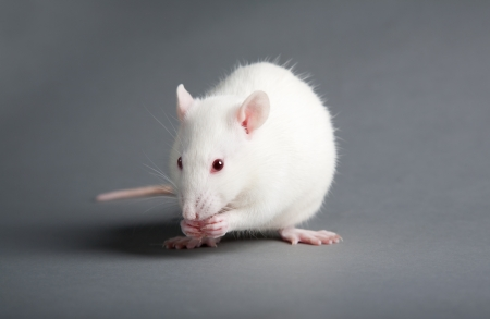White laboratory rat isolated on grey background Stock Photo - 10042972