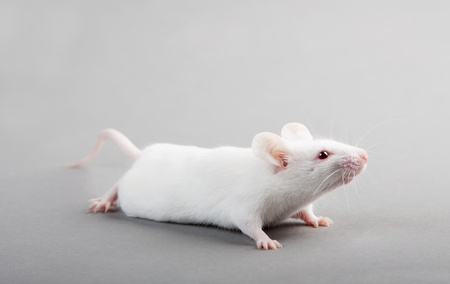 white tail: White laboratory mouse isolated on grey background