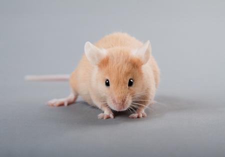 Yellow laboratory mouse isolated on grey background photo