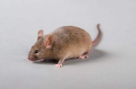 agouti: Agouti laboratory mouse isolated on grey background Stock Photo