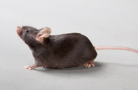 Black laboratory mouse isolated on grey background