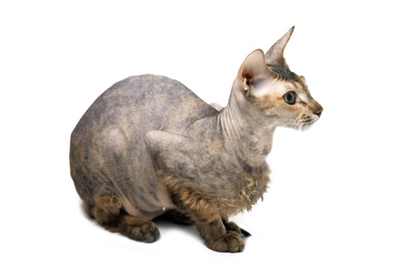 cute hairless oriental cat isolated on white photo