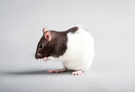 Brattleboro laboratory rat isolated on grey background photo