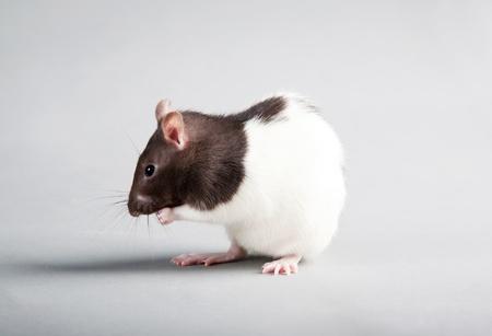 Brattleboro laboratory rat isolated on grey background Stock Photo - 10102676