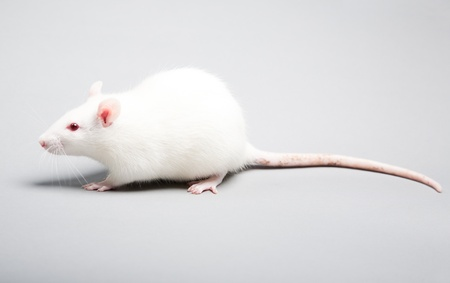 experiment: white laboratory rat isolated on grey background