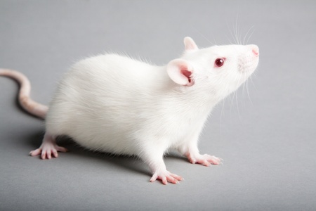 myszy: szczur biaÅ'ego laboratorium samodzielnie na szarym tÅ'em Zdjęcie Seryjne