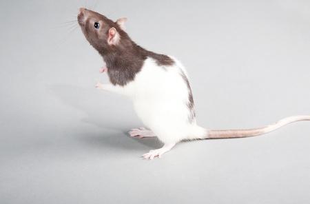 Brattleboro laboratory rat isolated on grey background photo