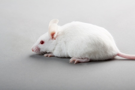 white laboratory mouse isolated on grey background photo