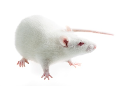 white laboratory rat isolated on white background Stock Photo