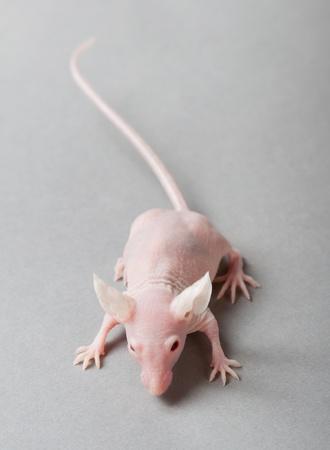 hairless laboratory mouse isolated on grey background photo
