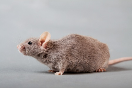 brown laboratory mouse isolated on grey background photo