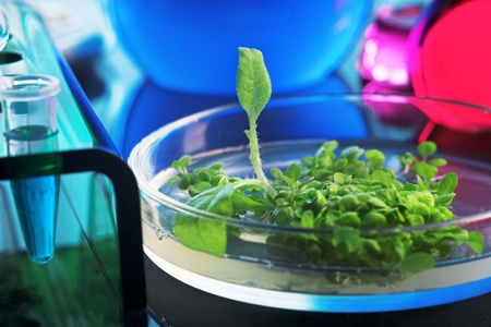 transgenic: tobacco transgenic plant on the laboratory table Stock Photo