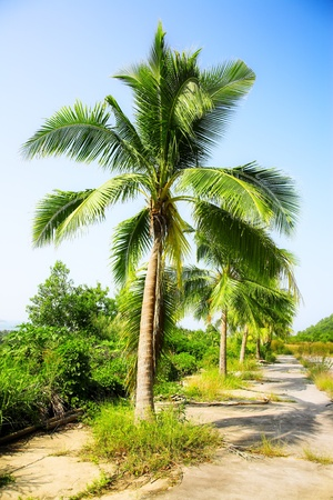 coconut palms on the blue sky background photo