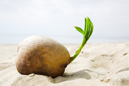 coconut sprout on the tropical sea beach photo