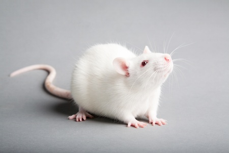 albino: white laboratory rat isolated on grey background
