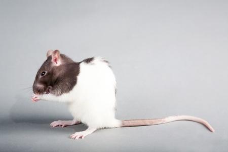 Brattleboro laboratory rat isolated on grey background