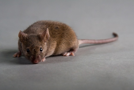 agouti: agouti laboratory mouse isolated on grey background