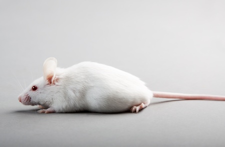 white laboratory mouse isolated on grey background photo