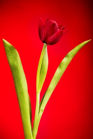 one tulip flower isolated on red photo