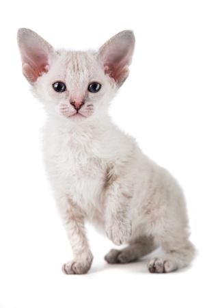 cute oriental kitten isolated on white background photo