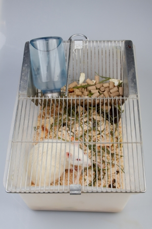 white laboratory rat in cell on grey background photo