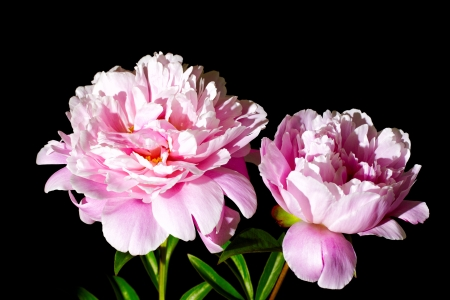 pink peony flower on black background