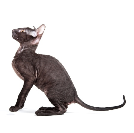Cornish Rex kitten isolated on white background photo