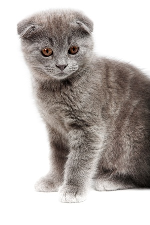 eared: gray lop-eared kitten isolated on white background
