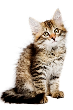 intriguing: Siberian kitten isolated on the white background Stock Photo