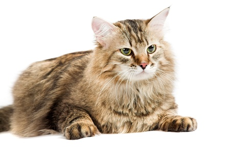 foreleg: striped siberian cat isolated on white background