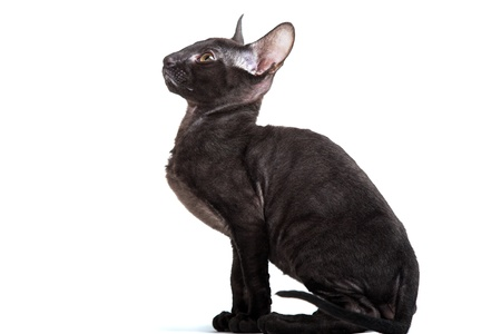 cornish: Cornish Rex kitten isolated on white background Stock Photo