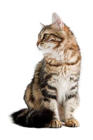 foreleg: striped siberian cat isolated on white background