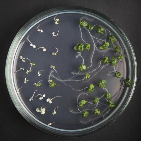 transgenic: transgenic plants in petri dishes