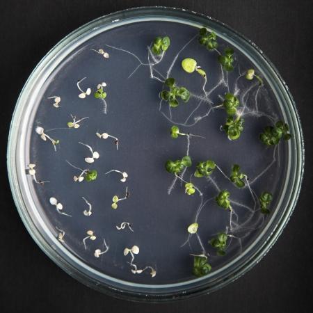transgenic plants in petri dishes