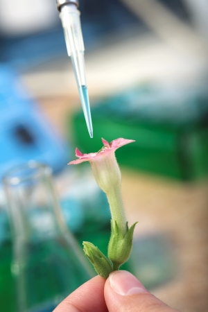 transgenic: laboratory test with transgenic plant