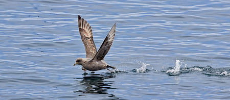 Southern  Petrel makes the acceleration before takeoff Banco de Imagens