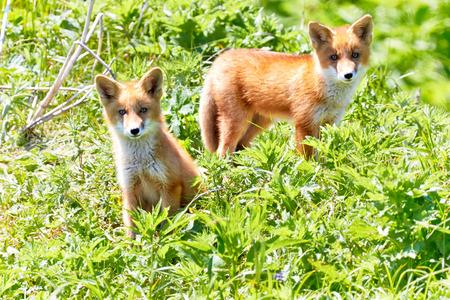 Kuril Islands, Onekotan. A pair of curious fox cubs in a natural habitat